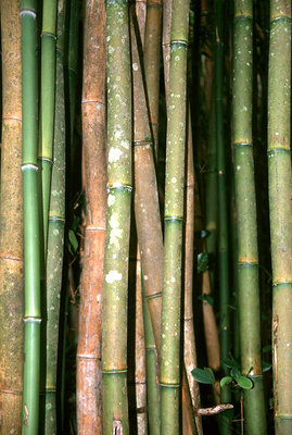 bamboo, Hawaii