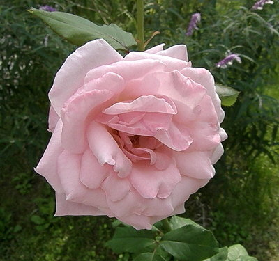 Pink Rose outside Eglise Russe in Nice.JPG