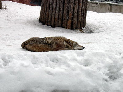 The wolf is sleeping