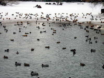 Pond full of ducks
