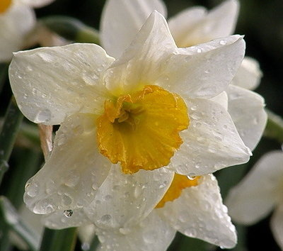 Daffodil After Rain2