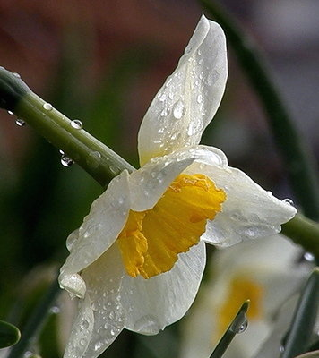 Daffodil After Rain