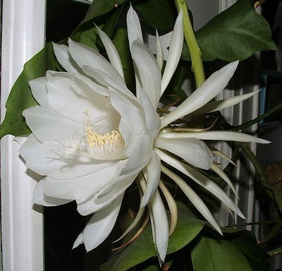 Night Blooming Flower