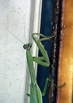 praying mantis folded hands