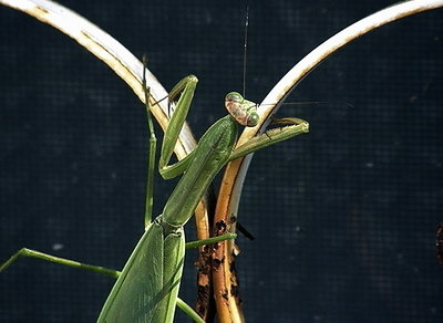 praying mantis2