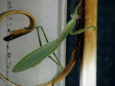 praying mantis5
