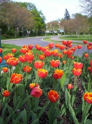 Sri Chinmoy Tulips Around the U.S.