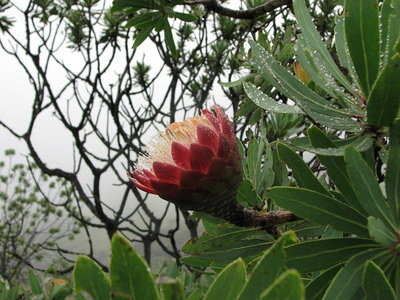 Proteas - South Africa's national flower