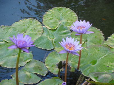 Purple Lotuses