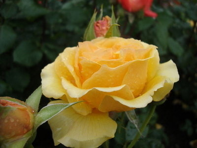 Sri Chinmoy Rose