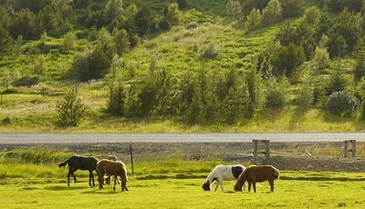 Meadow-Iceland-Horses