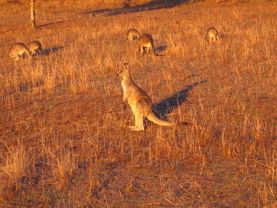 I would see hundreds of kangaroos when running. (Not an exaggeration!)
