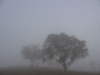 Trees in the mist. A foggy Canberra morning.