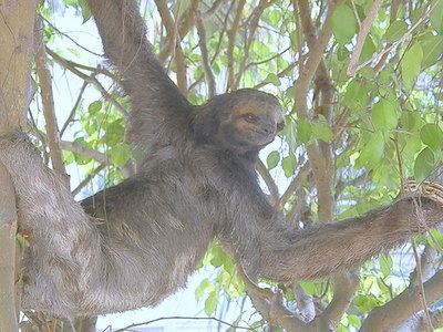 Sloth living on Hotel Grounds.JPG