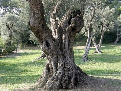 Olive Tree at Renoir Musee.JPG
