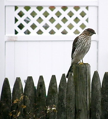 Young Cooper's Hawk on my backyard fence