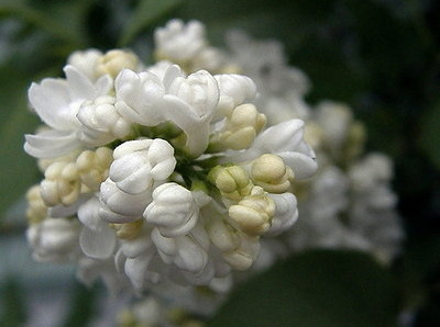 White Lilac Buds
