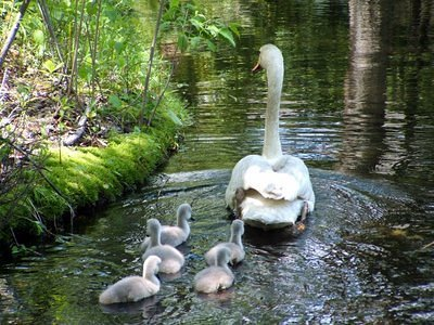 A Swan Family Affair in a Barrington pond