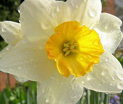 daffodil after rain4