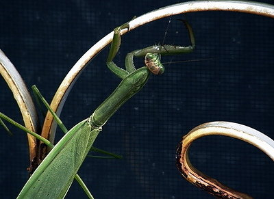 praying mantis3